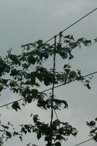 Japanese beetle skeletonization of upper leaves along top wire.