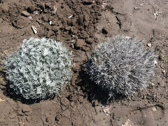 Two lavender plants side by side on bare soil with the left one a solid dull green and the right one solid grey