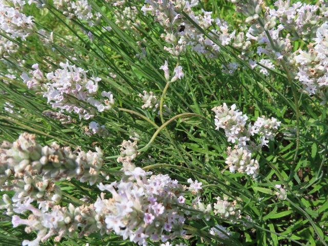 A pink flowered lavender in bloom with some stems twisted with brown spots or sections