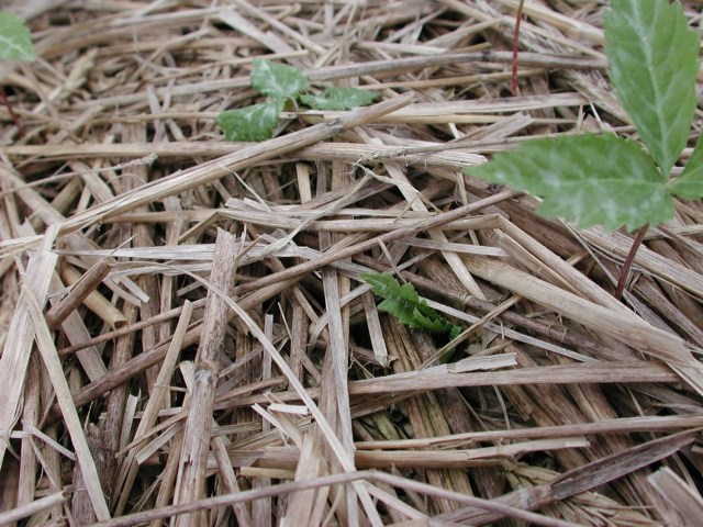 Closeup of ginseng seedlings over straw with one seedling pulled into the straw from below and another wilted and laying on the straw.