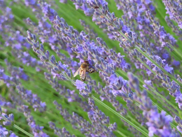 A honeybee on a purple lavandin cultivar of lavender