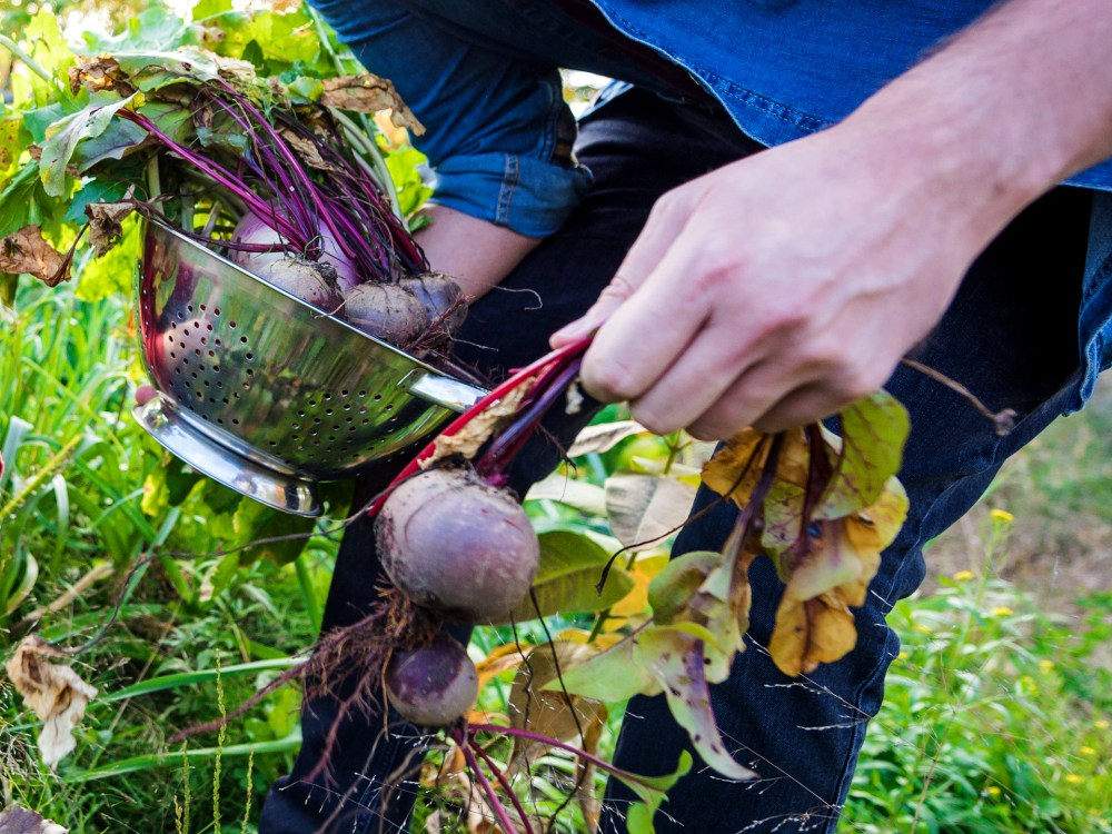 A man harvesting fresh beets from the garden