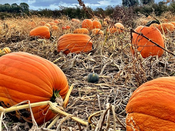 a field of ripe pumpkins
