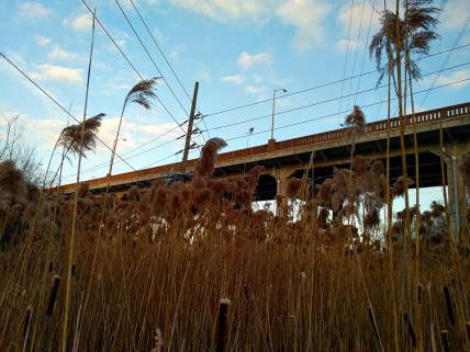 Phragmites taken over a cattail reed bed under the O'Connor bridge. Phragmites is one of Canada's most invasive plants.