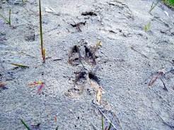 Deer prints in the sand.