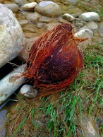 Strangely enough a coconut was washed up on the sore.