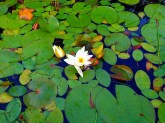 Lilly Pads...
