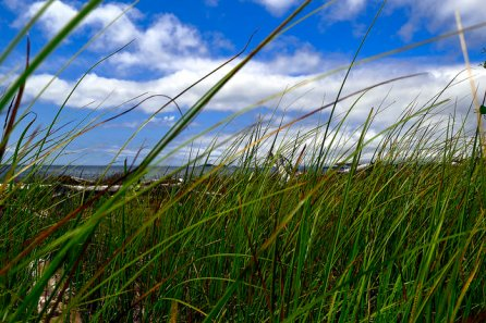 The grasses growing on the sand dunes.