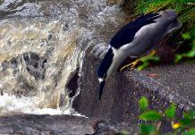 The Heron stalks its prey.