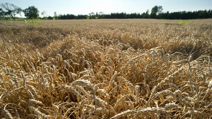 Genetically modified wheat? – Ontario Grain Farmer