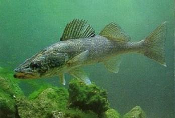Walleye Fishing and Bait