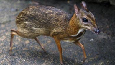 صور, حيوان غريب جدا يجمع في شكله مابين الغزال والفأر!