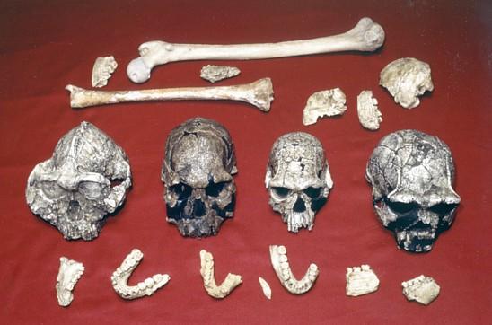 homo-erectus-skulls