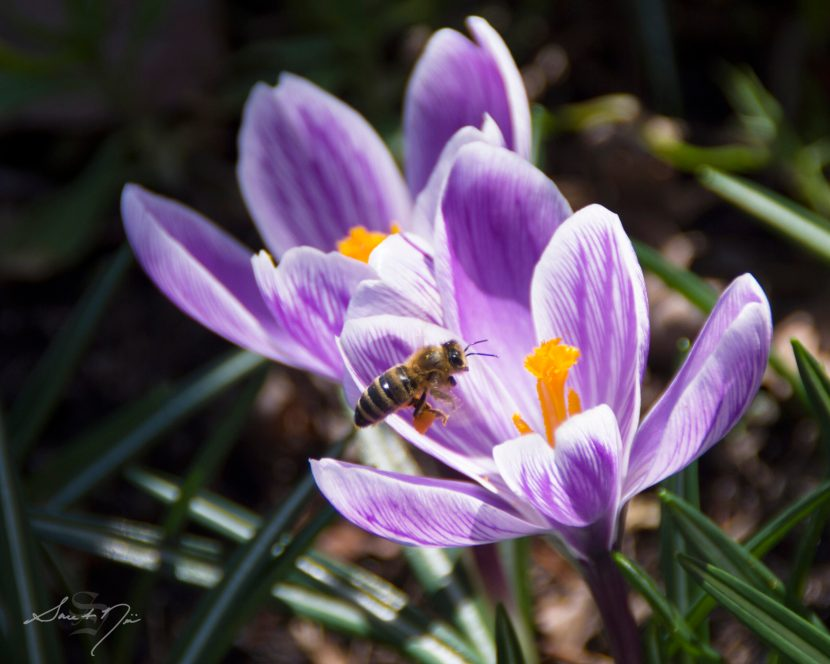 bee on crocuses