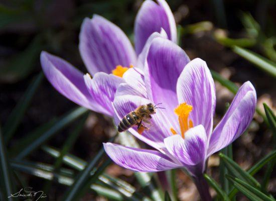 bee on crocuses