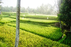 Bali Rice Walk-10
