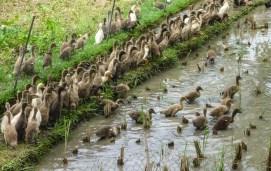 Bali Rice Walk-6
