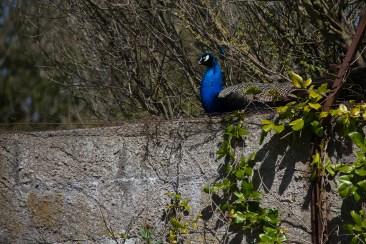 Malahide gardens peacock