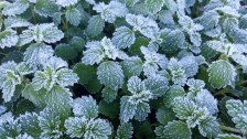 Frost on the paddock weeds