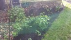 Our berry garden. Strawberries and Golden Raspberries.