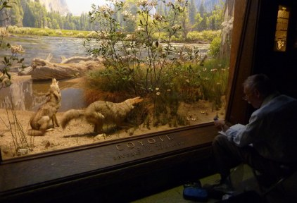 Sketching in front of the Coyote Diorama in the American Natural History Museum