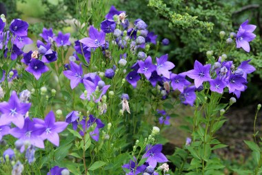 Pretty purple flowers at Botanisk Have