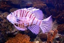 Lion Fish!