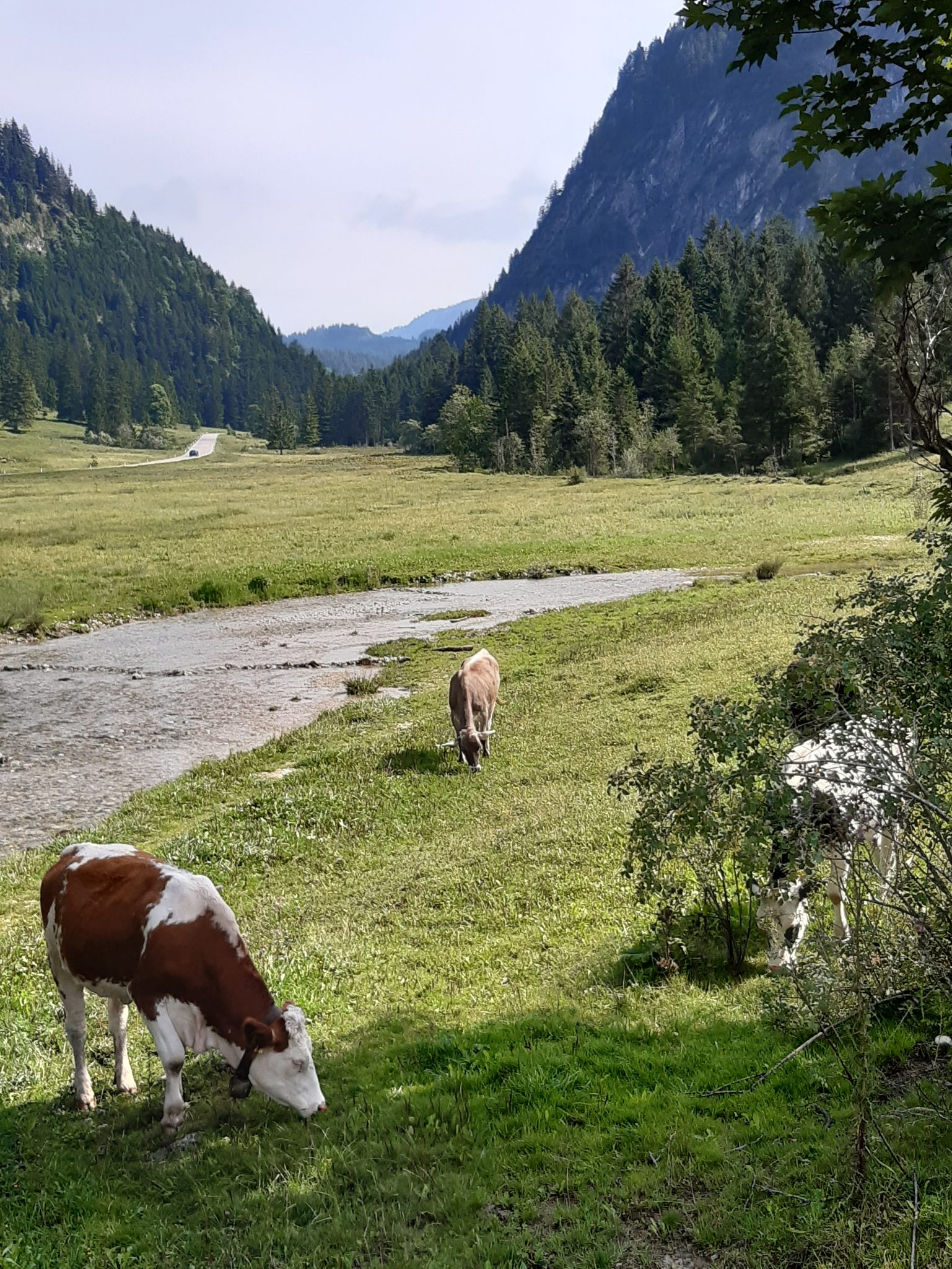 Bach Kühe weiden