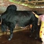 শিবগঞ্জে গৃহবধু রেহেনা খামারের ৪টি গরুর দাম হেঁকেছেন ৪০ লাখ