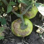 Figure 3. Lesions on tomato fruit first appear as a grey, water soaked greasy patch that turns brown and sunken.