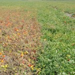 Advanced late blight symptoms in unsprayed area beside fungicide-treated plants
