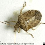 Brown stink bug adult