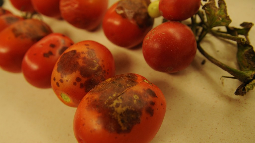 Black mold (alternaria) on tomato fruit