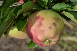Figure 4. Sometimes injury can be hard to diagnose. Closer examination of this apple indicated the injury was likely stink bug.