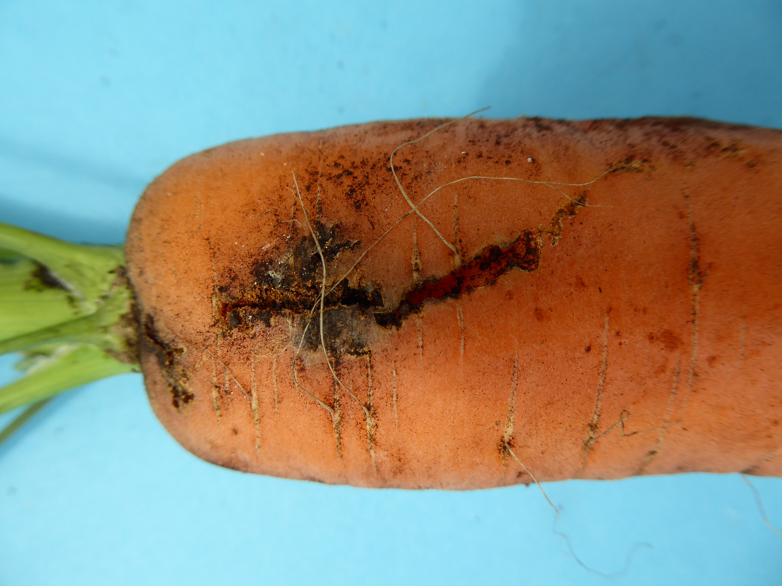 Carrot weevil damage