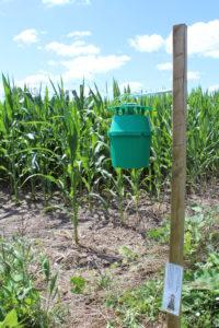 Western bean cutworm trap in corn. Green unitrap