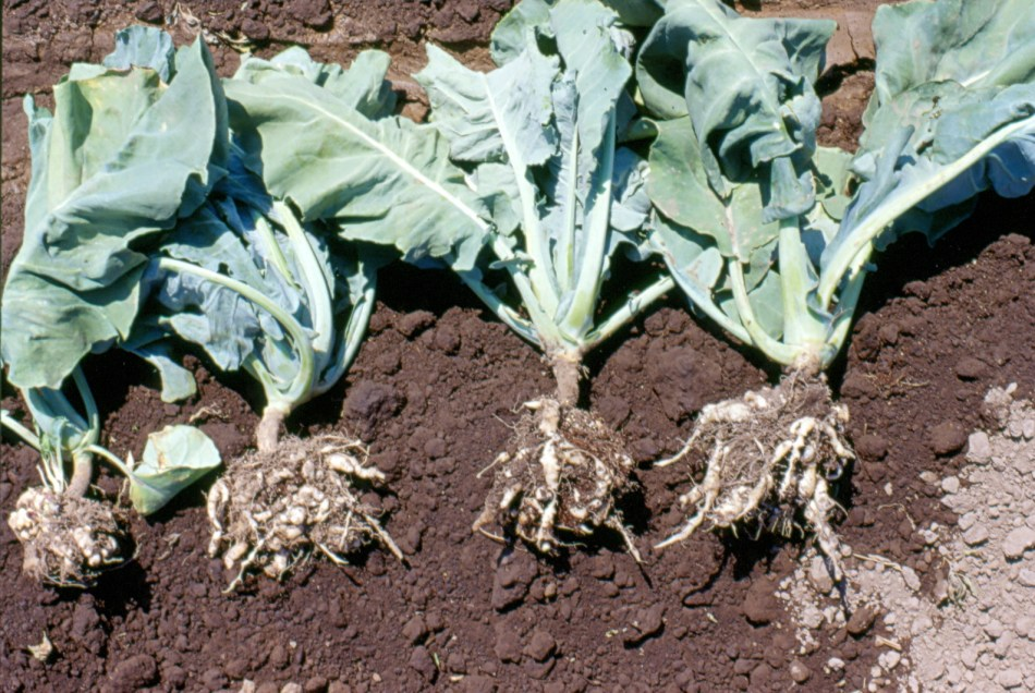 Clubroot_cauliflower