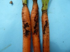 Carrot weevil larvae feeding damage on young carrot roots