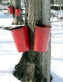 maple_harvest_pic