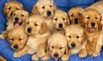 golden-retreiver-puppies-580x348