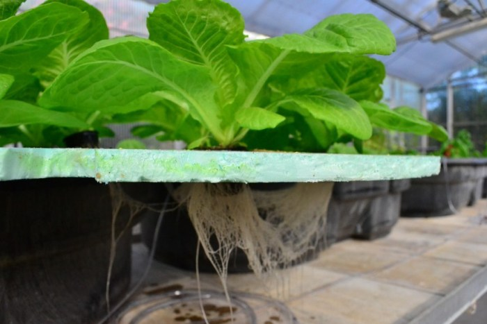 Hydroponic plants being grown in on-campus greenhouses. (Photo: Keirstan Kure)