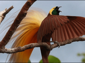 Birds of Paradise and Natural Tourism Potentials - Macaulay Library