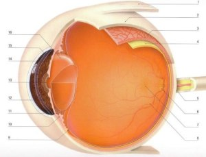De anatomie van ons oog