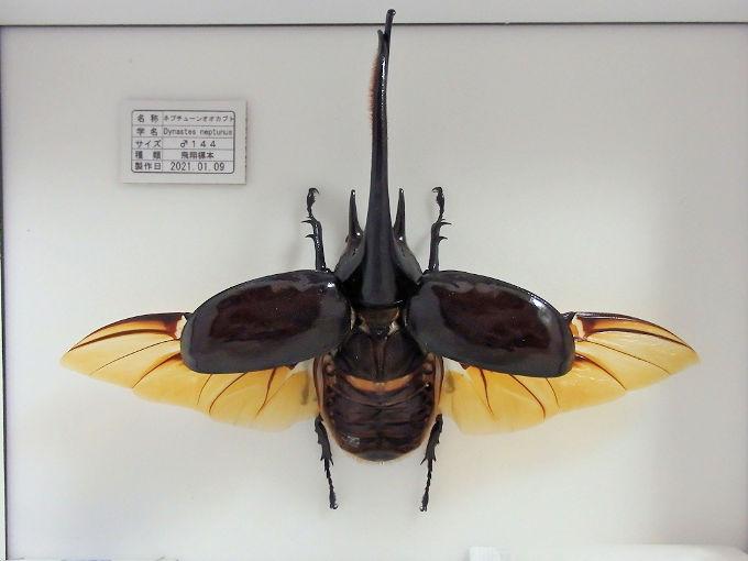 ネプチューンオオカブト飛翔標本の作製依頼