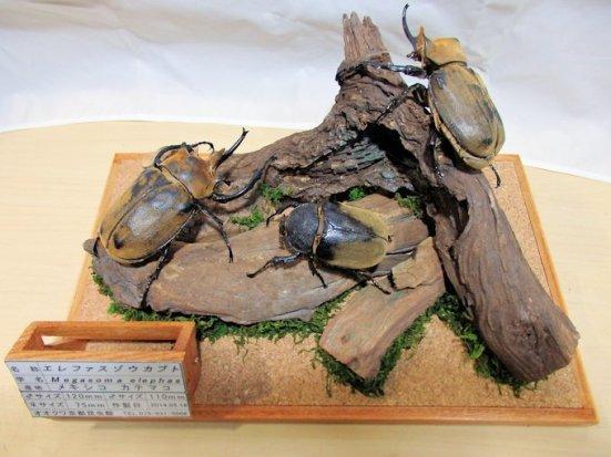 エレファスゾウカブトの3D標本