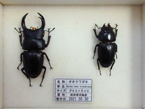 オオクワガタ♂62+♀43(クワガタ標本)a