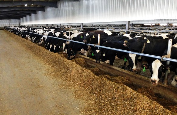 1600 cows in one building