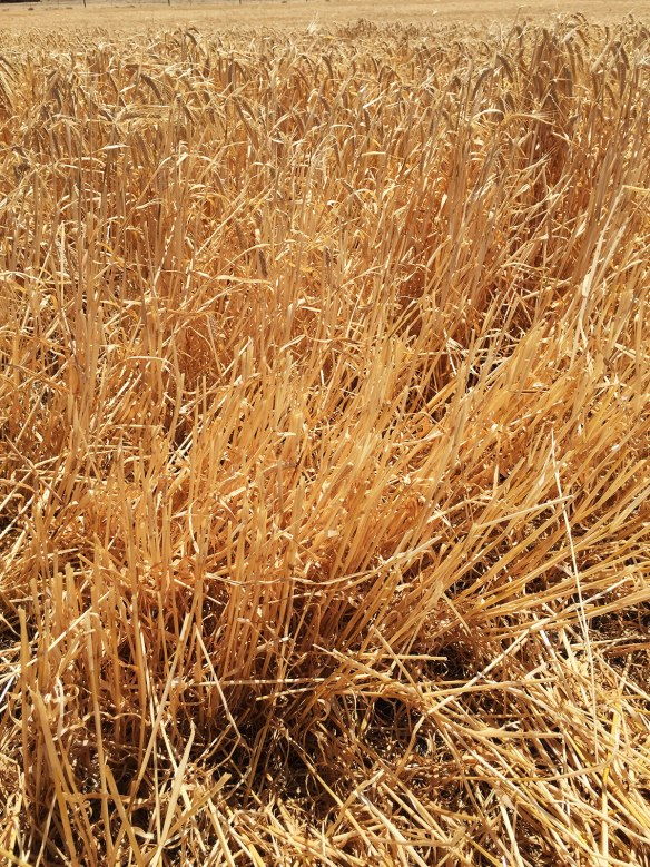 It's common around here to graze cattle on cereal stubble, with no supplemental feeding either