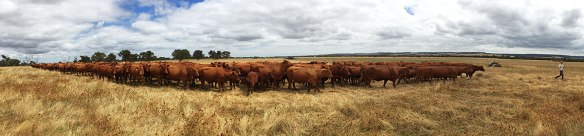 Phil's herd of 126 Red Angus cows & calves