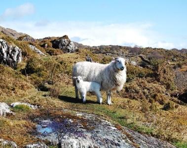 mouton et son petit dans un environnement rocailleux